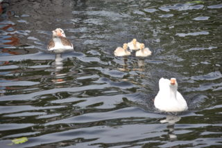 Farm geese on the Shannon | Christy Cunniffe