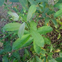Salix (Common Willow)   Milltown Heritage Group