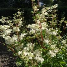 Meadowsweet (Ulmaria spirea)   Milltown Heritage Group