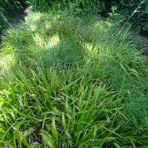 Carex Oshimenis Everillo   Milltown Heritage Group