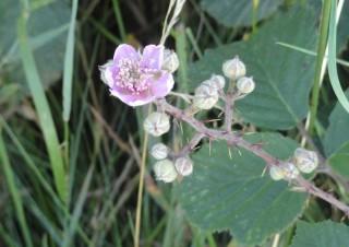 Blackberry Flowers | Catherine Seale