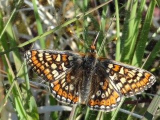 Marsh Fritillary | Catherine Seale
