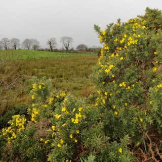 Furze, also known as gorze and whin bushes. | Catherine Seale