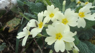 Primroses in Woodland | B. Doherty