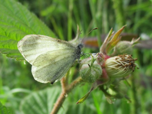 Real's Wood White | Catherine Seale