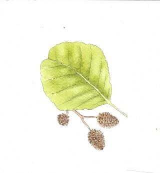Alder Leaf and seedlings | Carrie O' Sullivan