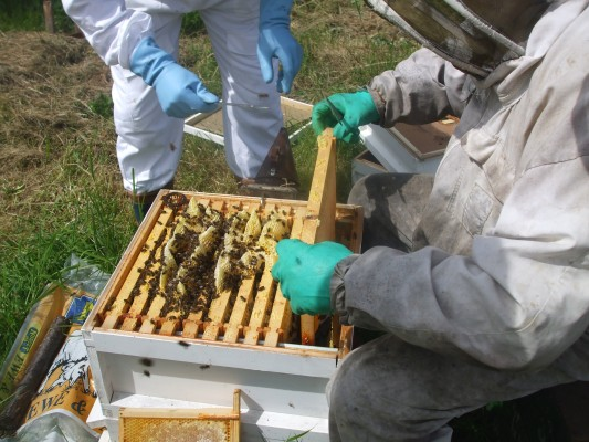 Opening the hives at Abbey Apiary