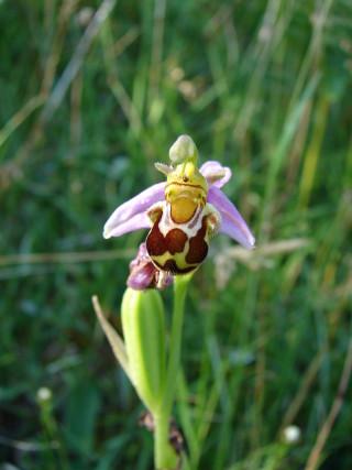 Bee Orchid | Elaine O'Riordan