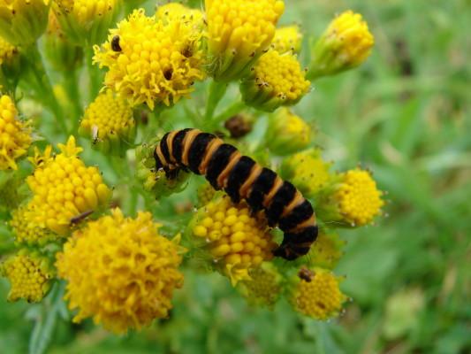 Cinnebar moth caterpillar on Ragwort | Elaine O'Riordan