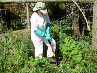 Giant hogweed control by root cutting  | NYS DEC, Flickr C BY-NC-ND 2.0