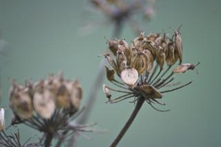 Giant hogweed seeds | Ara Maye, Flickr, CC BY-NC 2.0