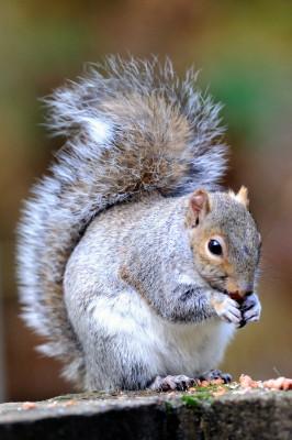Grey squirrel | Kkev Chapman, flickr, cc-by-2-0