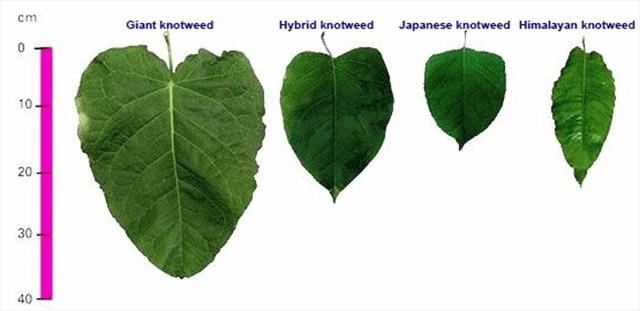 Knotweed species leaves compared | National Biodiversity Data Centre
