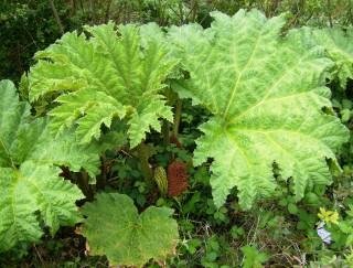 Gunnera plant | Elaine O'Riordan