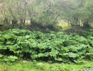 Clump of Gunnera plants | Elaine O'Riordan