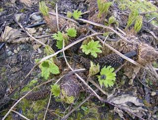 New growth from rhizomes in spring | Elaine O'Riordan