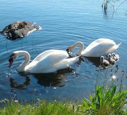 Swans at An Cearthu Rua | Annie Devane
