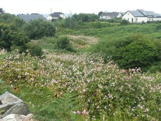 Himalayan balsam infestation along a stream in Spiddal | Elaine O'Riordan