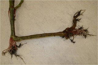 Himalayan balsam roots | Colette O'Flynn