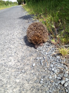 Headford Hedgehog | Headford Environment Group