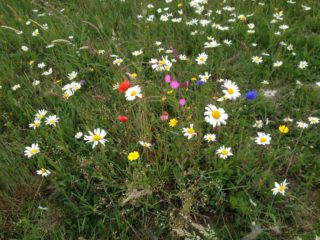 Wildflower meadow | Headford Environment Group