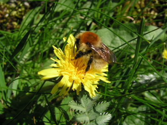 Bumblebee on Dandelion | John Breen
