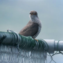 Cuckoo | Tom Cuffe