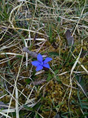 Spring Gentian | Elaine O'Riordan