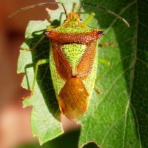 Hawthorn shield bug | Laurence Livermore, Flickr, CC BY-NC 2.0