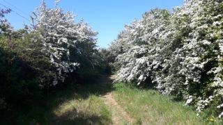 Hawthorn hedge | Elaine O'Riordan