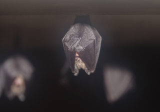 Lesser horseshoe bat | Ruth Hanniffy