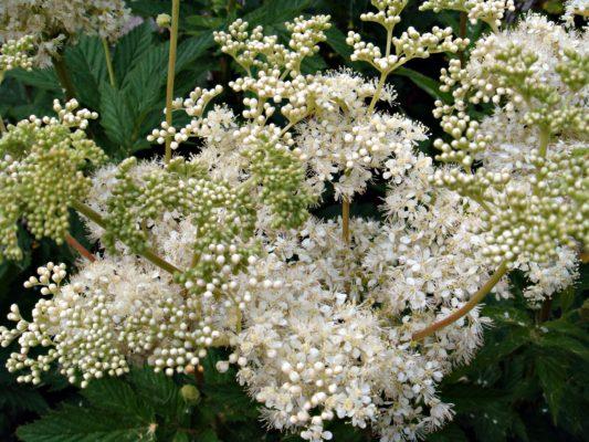 Meadowsweet flowers | CameliaTWU, Flickr, CC BY-NC-ND 2.0