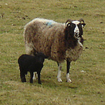 Crossbred Ewe and lamb in Cloonina | Source: Bernadette Forde, Ballynakilla, Togher (2012)
