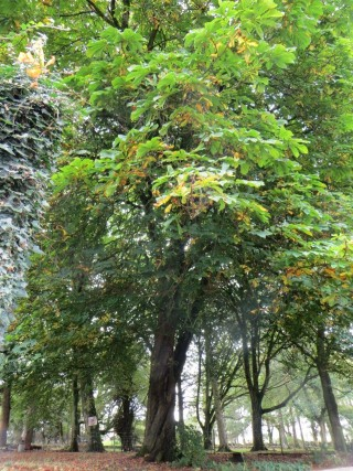 200 year old chestnut tree | Valerie Jennings