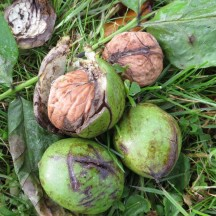 The fruit of the 150 year old walnut tree in Cahergal House
