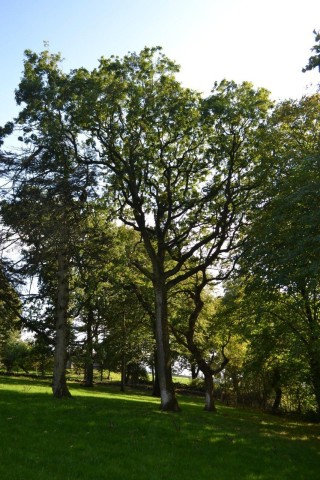 150 year old Oak Tree | Valerie Jennings