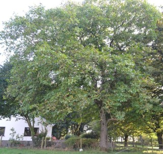 150 year old walnut tree in Cahergal House | Photo: Valerie Jennings