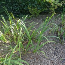 Hemerocallis Daylily | Milltown Heritage Group
