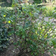 Redcurrant | Milltown Heritage Group
