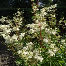 Meadowsweet (Ulmaria spirea) | Milltown Heritage Group