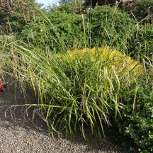 Miscanthus | Milltown Heritage Group