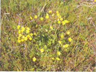 Marsh Cinquefoil | Moore Group