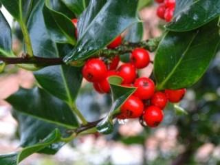 Holly | Moylough Heritage Society