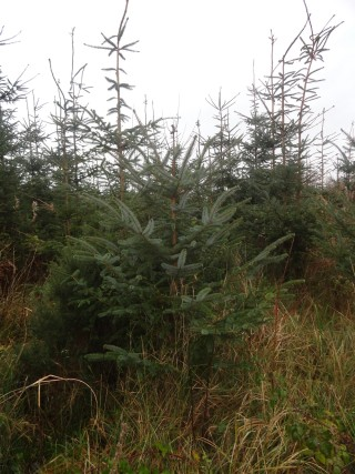 Sitka-Spruce trees   Catherine Seale