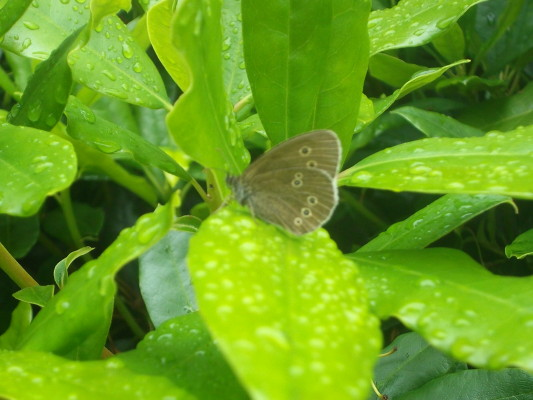 Ringlet Butterfly  | B. Doherty
