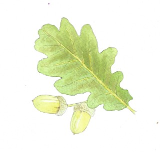 sketch of oak leaf, pale green and two acorns, brown | Carrie O'Sullivan