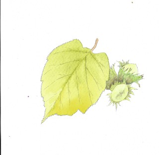 hazel leaf, pale green and hazel nut | Carrie O'Sullivan