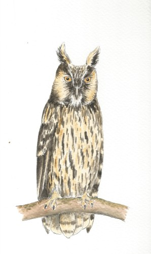 Long-eared Owl | Carrie O'Sullivan