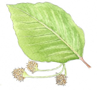 green leaf, pointed end, oval in shape with brown seedlings | Carrie O'Sullivan