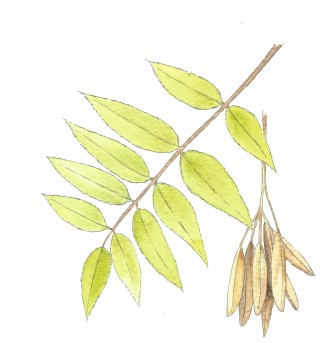 pointed leave of ash tree, green in colour with clump of seedlings brown in colour | Carrie O' Sullivan